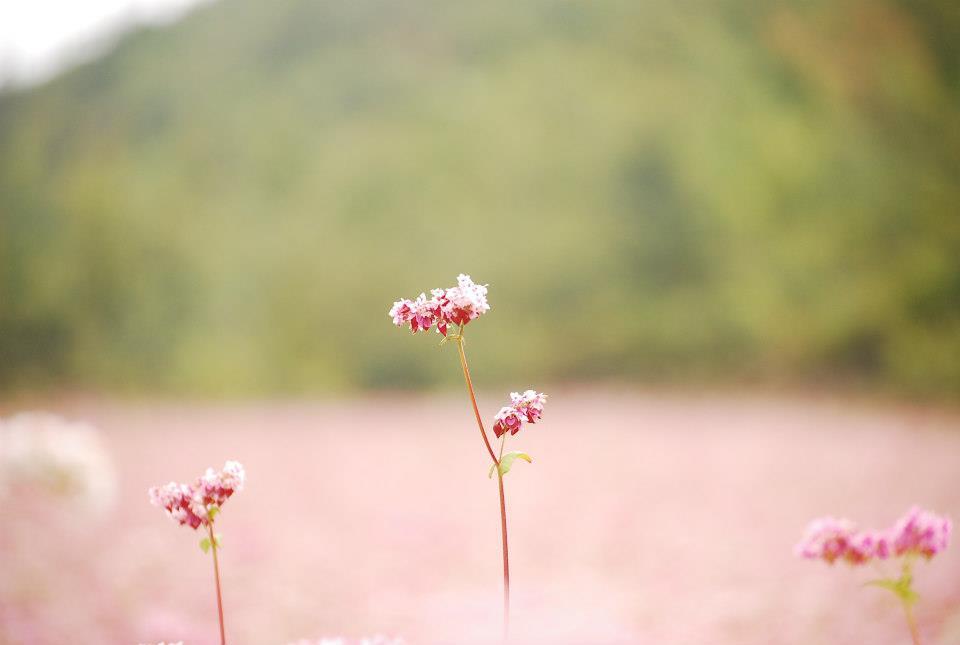 Mùa hoa tam giác mạch trên cao nguyên đá Hà Giang - 3