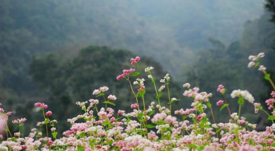 Mùa hoa tam giác mạch trên cao nguyên đá Hà Giang - 1