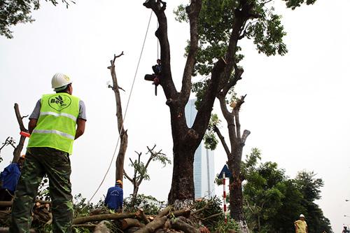 """HN: Bắt đầu di dời hơn 100 """"cụ cây"""" trên đường Kim Mã - 2"""