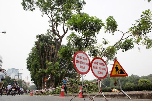 """HN: Bắt đầu di dời hơn 100 """"cụ cây"""" trên đường Kim Mã - 1"""