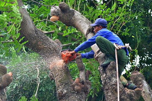 """HN: Bắt đầu di dời hơn 100 """"cụ cây"""" trên đường Kim Mã - 4"""