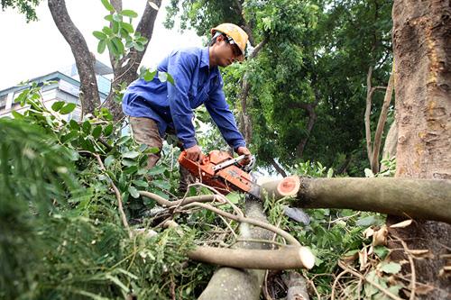 """HN: Bắt đầu di dời hơn 100 """"cụ cây"""" trên đường Kim Mã - 7"""