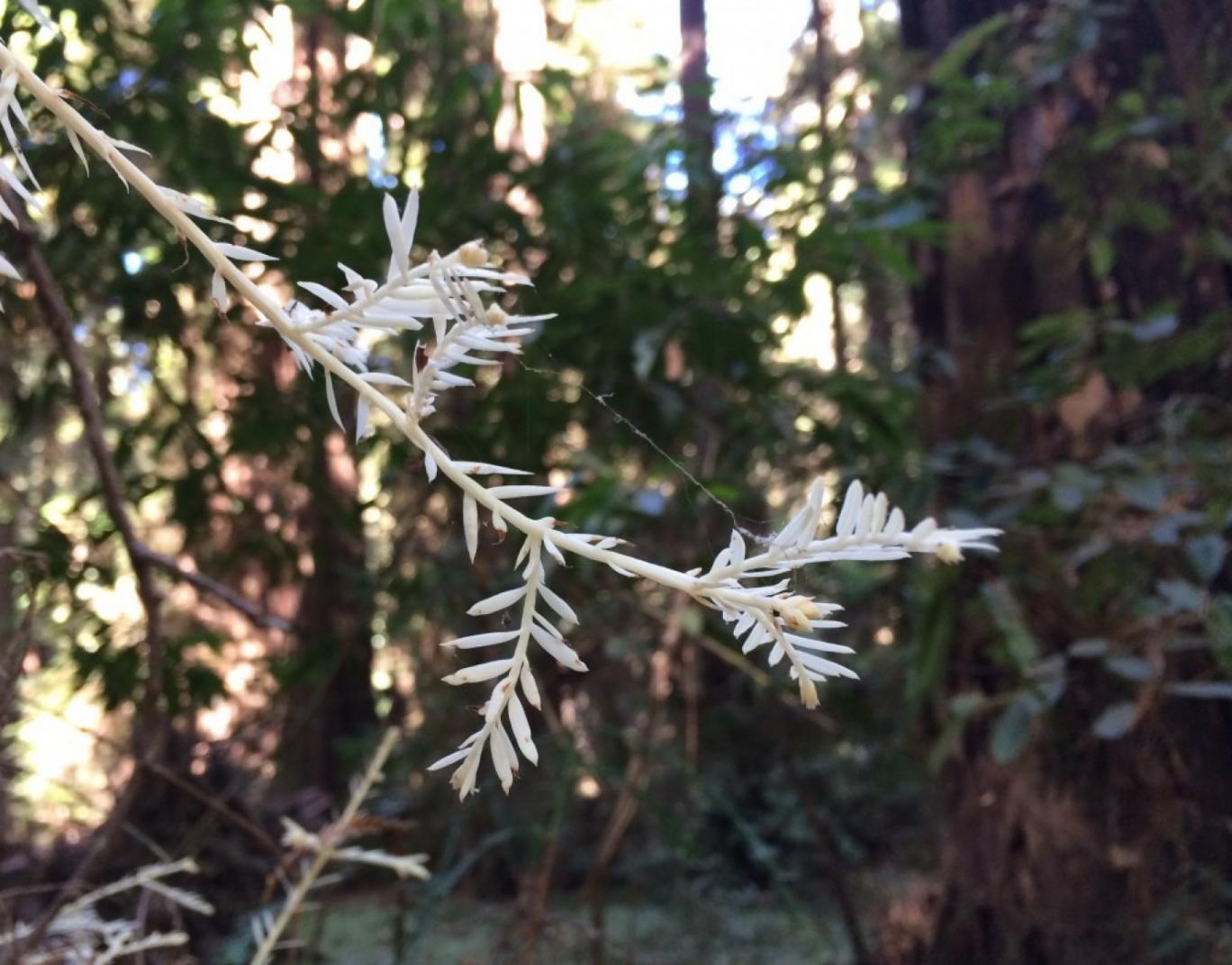 """Bí ẩn """"cây ma"""" sống không cần quang hợp trong rừng - 1"""