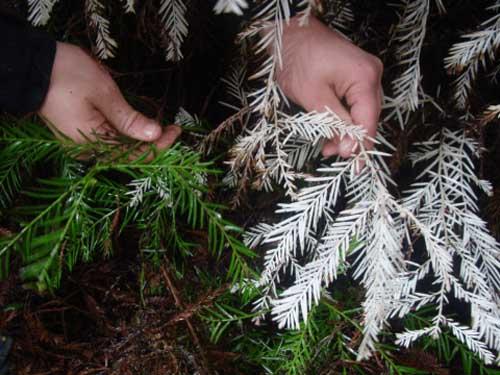 """Bí ẩn """"cây ma"""" sống không cần quang hợp trong rừng - 2"""