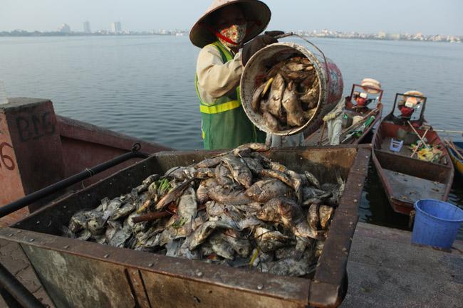 Hồ Tây sau hơn 10 ngày cá chết hàng loạt - 7