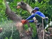 """Tin tức trong ngày - HN: Bắt đầu di dời hơn 100 """"cụ cây"""" trên đường Kim Mã"""