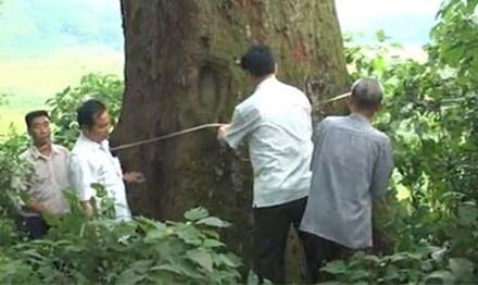 Cây Lim hơn 1.000 tuổi trở thành cây di sản - 1