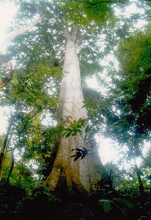 Cây Lim hơn 1.000 tuổi trở thành cây di sản - 2