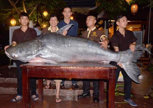 """Cá tra nặng hơn 2 tạ """"bơi"""" về Đà Nẵng bằng máy bay - 1"""