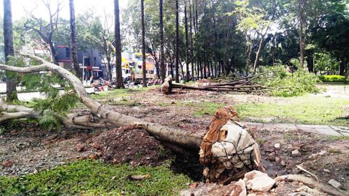 Hàng loạt cây ở trung tâm SG bứng dưỡng để thi công nhà ga - 1