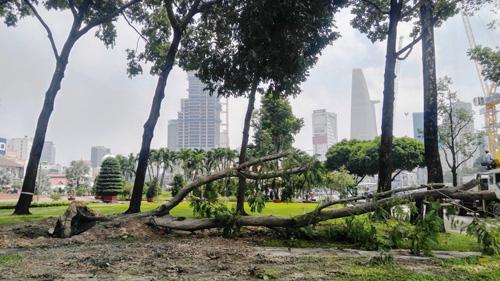 Hàng loạt cây ở trung tâm SG bứng dưỡng để thi công nhà ga - 2