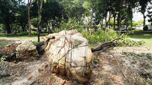 Hàng loạt cây ở trung tâm SG bứng dưỡng để thi công nhà ga - 4
