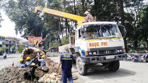 Hàng loạt cây ở trung tâm SG bứng dưỡng để thi công nhà ga - 7