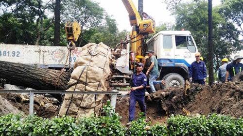 Hàng loạt cây ở trung tâm SG bứng dưỡng để thi công nhà ga - 5