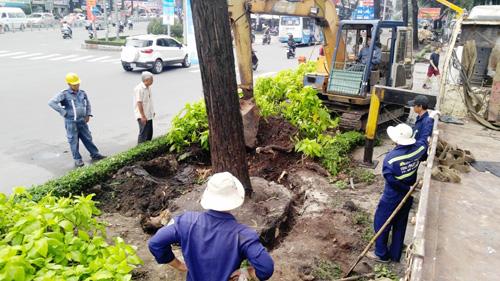 Hàng loạt cây ở trung tâm SG bứng dưỡng để thi công nhà ga - 3