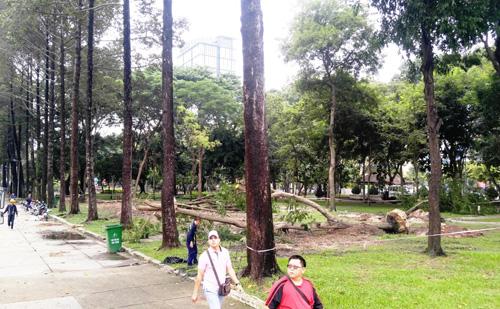 Hàng loạt cây ở trung tâm SG bứng dưỡng để thi công nhà ga - 9