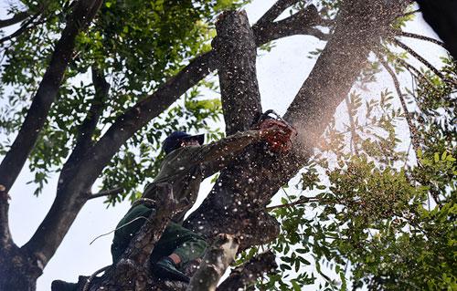 """Thót tim xem """"người nhện"""" đu dây tỉa cây trên phố - 10"""