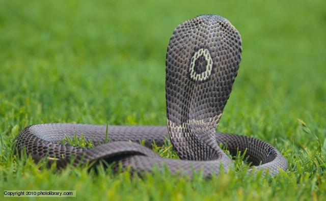 TQ: Săn lùng 50 rắn hổ mang cực độc sổng chuồng - 2