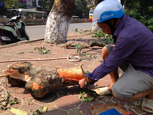 Tiếc nuối hàng cây Kim Mã, dân nhặt vỏ cây làm kỉ niệm - 6