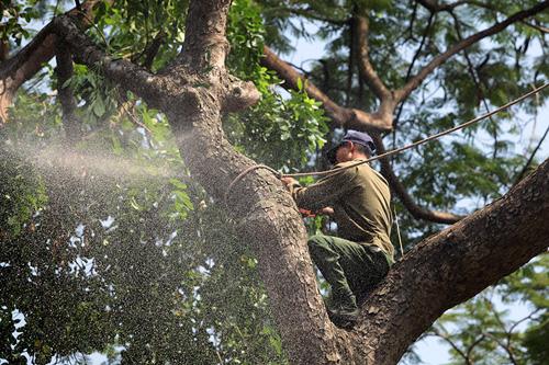 Tiếc nuối hàng cây Kim Mã, dân nhặt vỏ cây làm kỉ niệm - 10