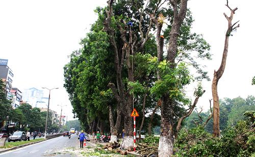 Tiếc nuối hàng cây Kim Mã, dân nhặt vỏ cây làm kỉ niệm - 11