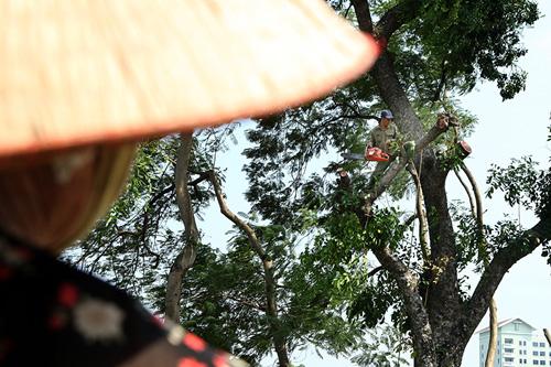 Tiếc nuối hàng cây Kim Mã, dân nhặt vỏ cây làm kỉ niệm - 9