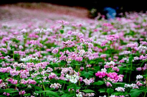 Vườn hoa hoa tam giác mạch đẹp mơ màng giữa Đà Lạt - 1