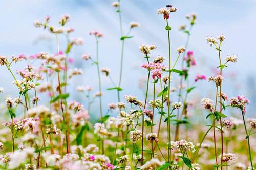 Vườn hoa hoa tam giác mạch đẹp mơ màng giữa Đà Lạt - 5