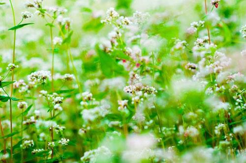 Vườn hoa hoa tam giác mạch đẹp mơ màng giữa Đà Lạt - 6