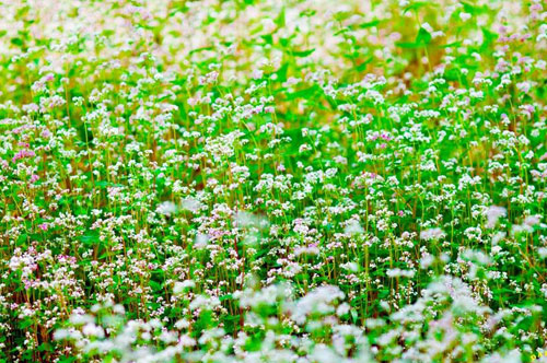 Vườn hoa hoa tam giác mạch đẹp mơ màng giữa Đà Lạt - 7