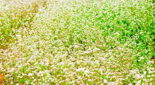Vườn hoa hoa tam giác mạch đẹp mơ màng giữa Đà Lạt - 4