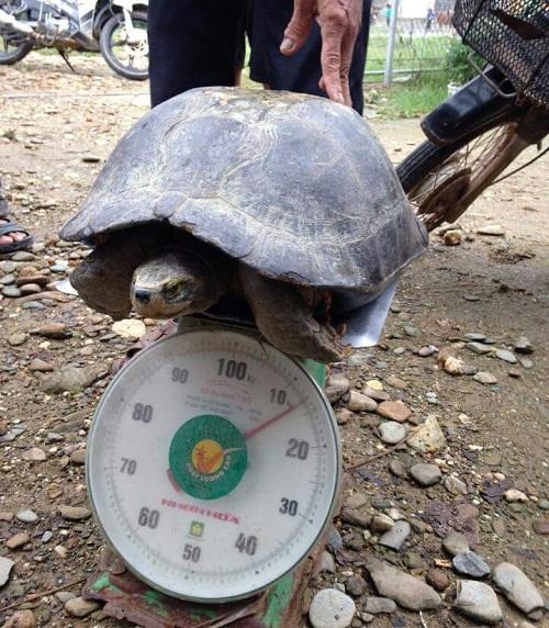 Cụ rùa trăm tuổi, nặng gần 14kg đi lạc vào nhà dân - 1