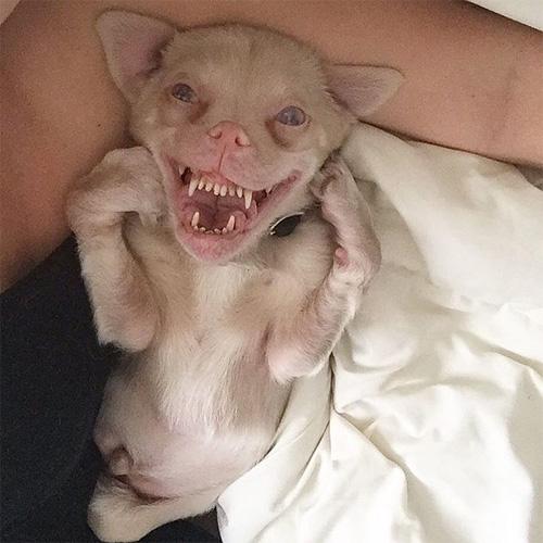 Chú chó răng vẩu nổi tiếng khắp thế giới với nụ cười lạ - 1