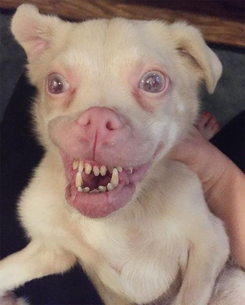 Chú chó răng vẩu nổi tiếng khắp thế giới với nụ cười lạ - 2