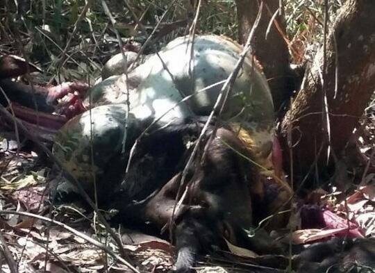 Bò tót xuất hiện ở khu vực rừng bảo tồn quốc gia Mã Đà - 3