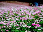 Du lịch - Vườn hoa hoa tam giác mạch đẹp mơ màng giữa Đà Lạt