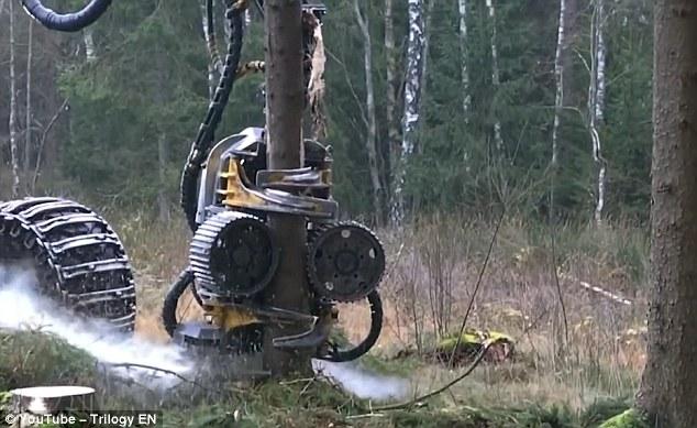 """Máy chặt cây """"xơi tái"""" cây gỗ chục mét trong vài giây - 1"""