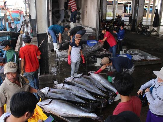 Trúng đậm cá ngừ trái vụ, ngư dân vượt gió vươn khơi - 1