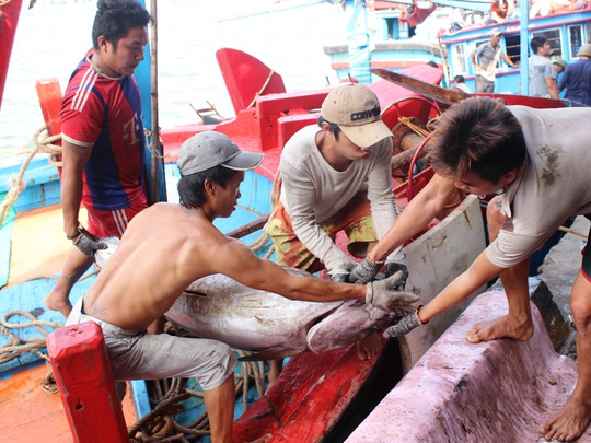 Trúng đậm cá ngừ trái vụ, ngư dân vượt gió vươn khơi - 3