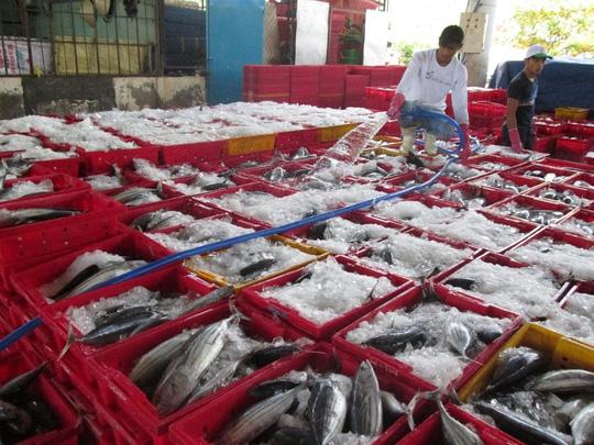 Trúng đậm cá ngừ trái vụ, ngư dân vượt gió vươn khơi - 7