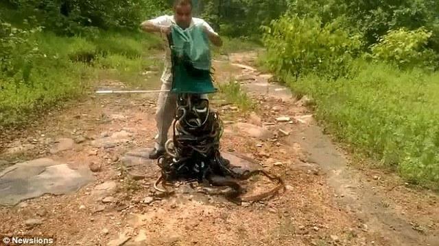 Ấn Độ: Thả vào rừng hơn 300 con rắn cực độc - 1