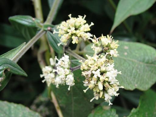 Dạ cẩm – Cây thuốc quý cho người viêm hang vị - 1