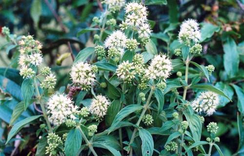 Dạ cẩm – Cây thuốc quý cho người viêm hang vị - 2