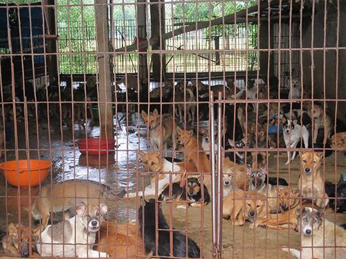 Người Việt ăn thịt chó nhiều thứ 2 thế giới - 1