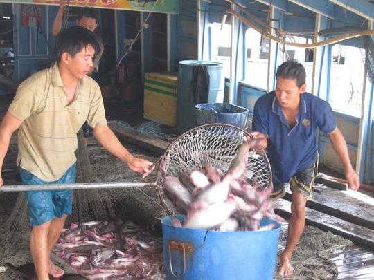 Giá cá tra bất ngờ tăng vọt, nông dân tiếc hùi hụi - 1