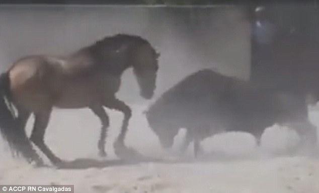 """Ngựa mảnh mai rượt bò tót cả tấn chạy """"mất dép"""" - 1"""