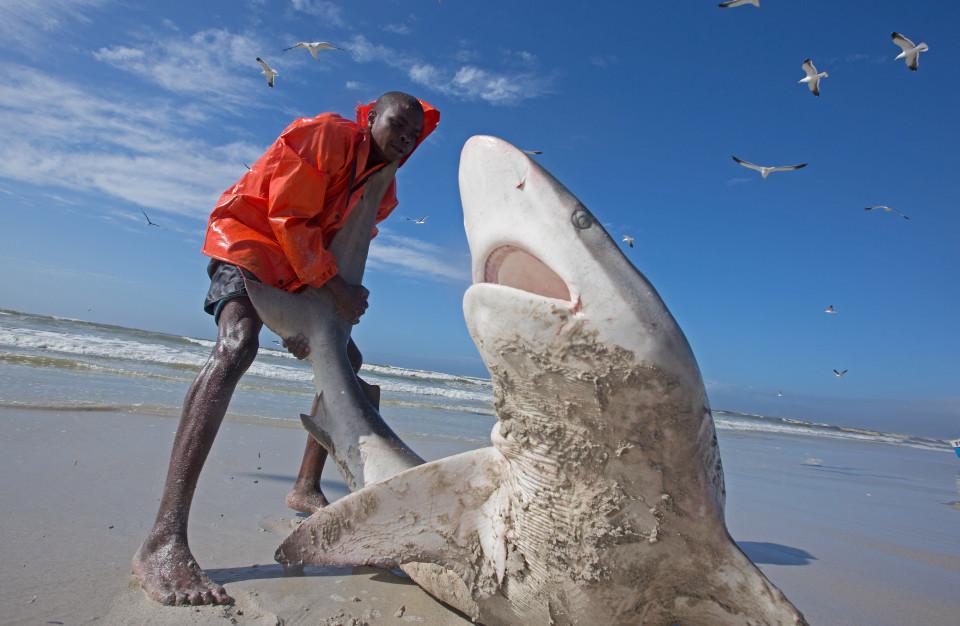 Nam Phi: Ngư dân liều mạng kéo đuôi cá mập dữ - 1