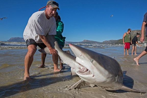 Nam Phi: Ngư dân liều mạng kéo đuôi cá mập dữ - 2