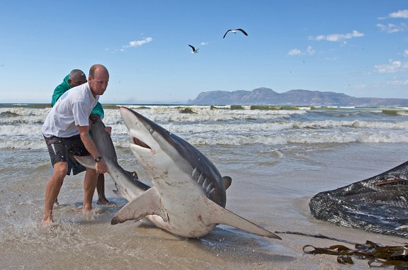 Nam Phi: Ngư dân liều mạng kéo đuôi cá mập dữ - 3
