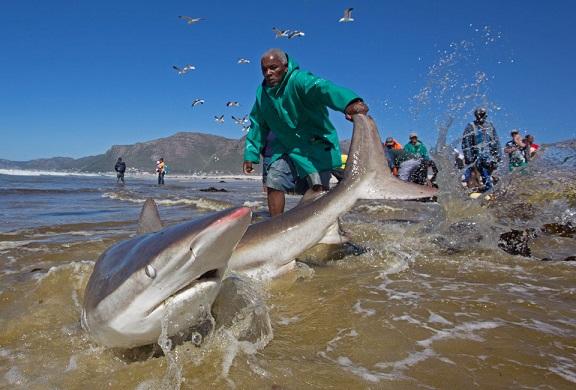 Nam Phi: Ngư dân liều mạng kéo đuôi cá mập dữ - 4